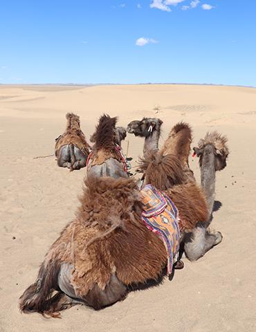 몽골 고비사막, 금빛 모래에 반하다
